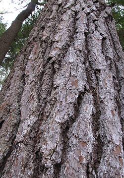 Bark of White Pine Tree