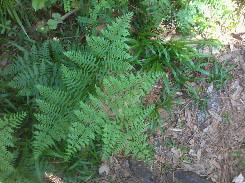 Bracken Fern at Fern Forest Nature Center