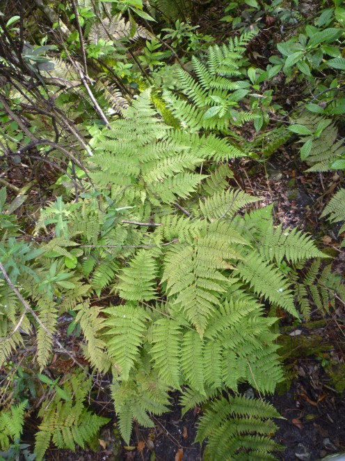 Royal Fern at Fern Forest Nature Center