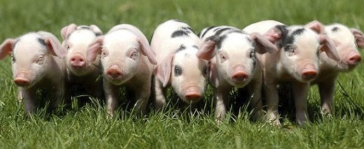 Little piggies in a row.  Creative Commons attribution.