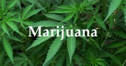 Marijuana Friend of Foe?