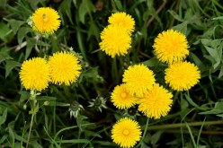 The Dandelion: Weed or Vegetable?