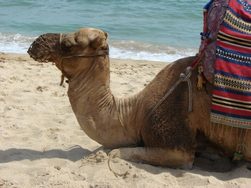 Camel rides are popular along the sands in Morocco