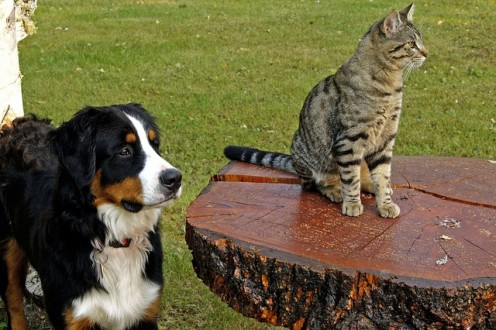 Bernese Mountain Dog and Canine Tabby
