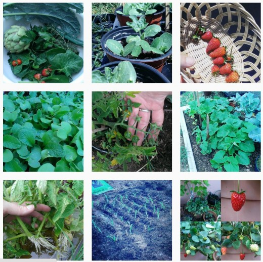 This author is a guilty urban farmer and, yes, nearly every one of my Instagram images is garden related.