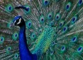 Interesting facts about The National Bird of India~~The Peacock!