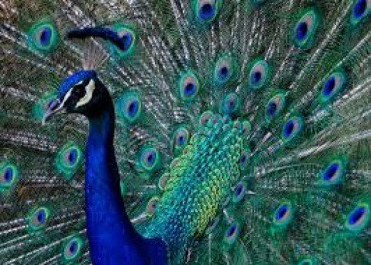 The National Bird of India--The Peacock!