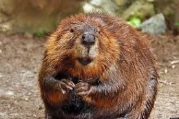 Showing colors of coat caused by iron in teeth and body of beavers