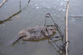 "The awful traps.  Pelt hunters say ""They don't hurt the animal."""