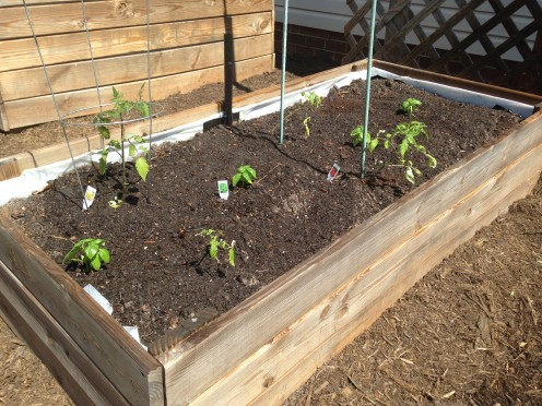 Wider view of planted SIP - tomatoes and basil.