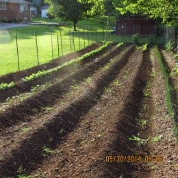 I keep my rows wide enough to roto-till in between  to help in the weed pulling. In this photo is a row of radishes on the left and green onions on the right.
