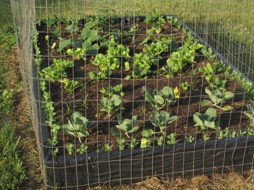 This raised bed receives sunlight all day and has a variety of vegetables in it from peas along the outside to peppers. cabbage, spinach, lettuce and even one tomato and cucumber plant.