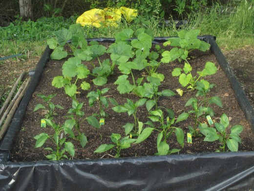 This raised bed in the shade consists of squash, zucchini and various pepper plants.