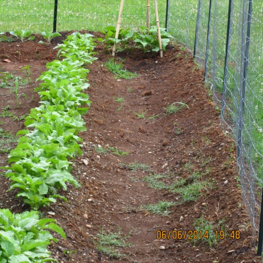 I usually have about two to three crops of radishes a year as they are low maintenance, hardy growing plants, their leaves can also be added to salads and are quite tasty.