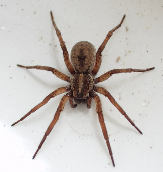 A female wolf spider.
