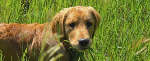 Do you know why your dog eats grass?
