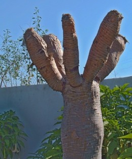 Dying Dragon Tree with leaves pruned in an effort to save it