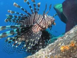 Closeup of Lionfish