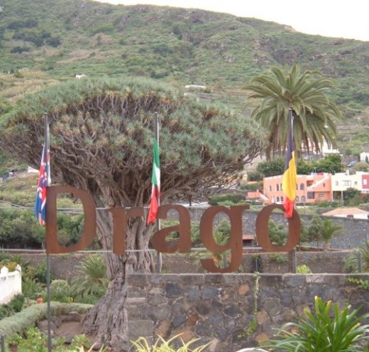 Drago Milenario in Parque del Drago in Icod de los Vinos