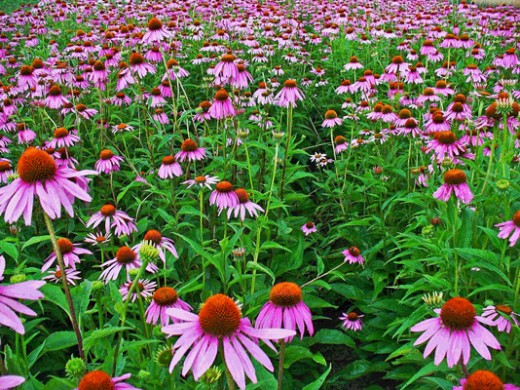 A field of flowering Echinacea plants.