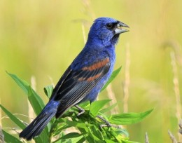 Male Blue Grosbeak