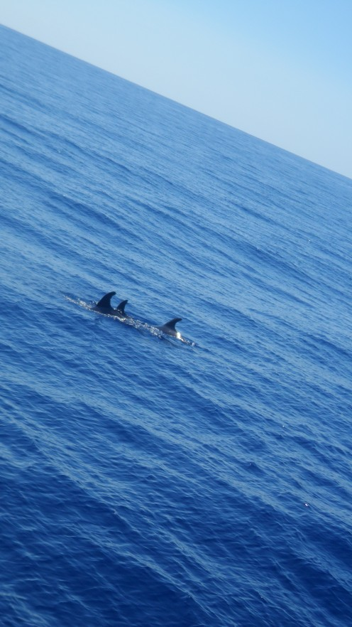 Dolphins off the coast of Madeira