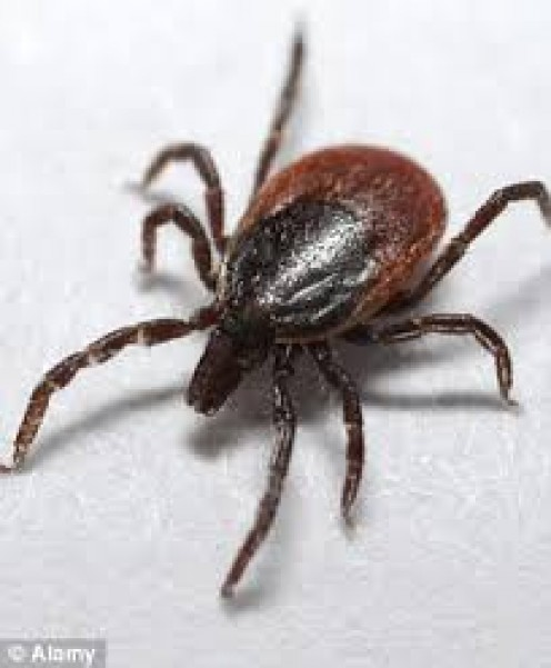 Ticks attach themselves to humans and animals and suck the victims blood. They need to be removed as quickly as they are found. Ticks can carry diseases.