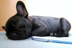 French Bulldogs: A comprehensive Guide