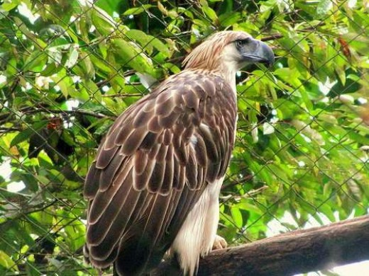 The Philippine eagle is the national bird of the Philipines