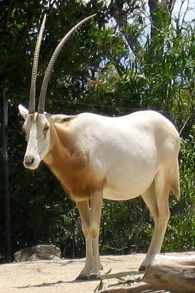 The Scimitar-harned Oryx at Sydney Toronga Zoo By Albinfo CC BY-SA 3.0