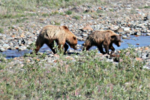 It was so thrilling to see these two bears playing along the Toklat River. We stopped at mile 53 for a rest-stop!