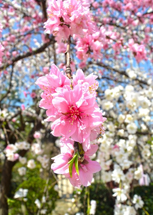 Sakura blossoms have long represented the arrival of spring time in Japan.