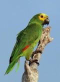 Amazing Amazon Parrots