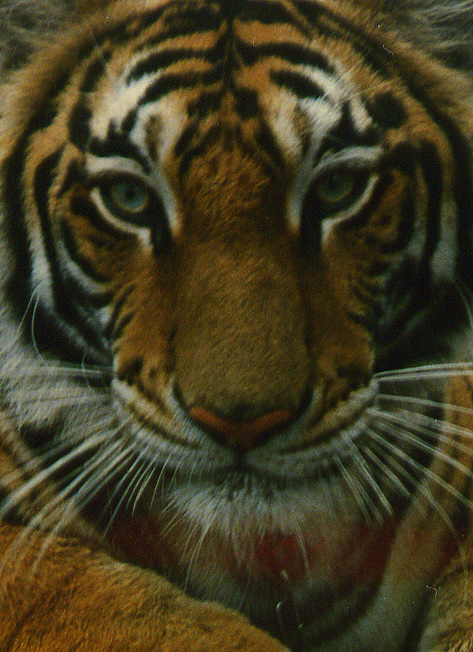 I took this picture of a pet tiger for my Bangkok Post Article in Phuket in 1992. Tragically there are only a few wild tigers left in Thailand.