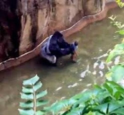 Gorilla shot due to error not RACE