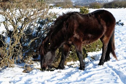 Dartmoor ponies can be seen in all seasons