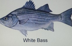 A Short Summary On The White Bass Fish Species