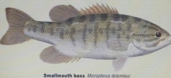 A Layout Of Smallmouth Bass And The Largemouth Bass Species