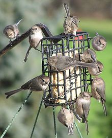 Bushtits on a suet feeder