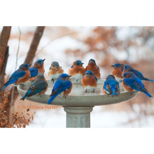 This is a heated bird bath. It is warming this group of Bluebirds during the cooler months.