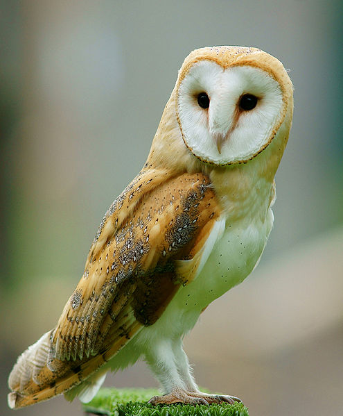 Tyto alba-British  Wildlife Centre By Peter Trimming CC BY-SA 2.0