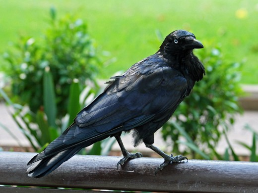 The Australian Raven By DickDaniels CC BY-SA 3.0