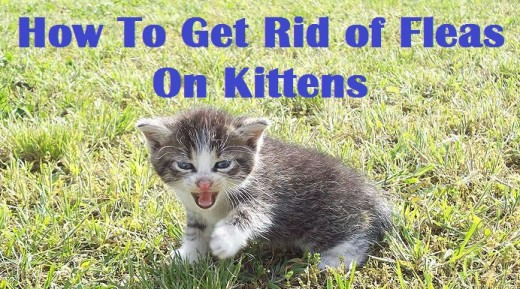 Kittens and fleas are not fun.  But there is something that you can do.