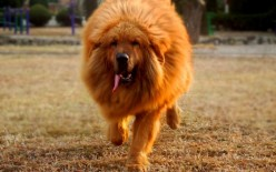 Tibetan Mastiff the Ancestor of 10 Other Dog Breeds
