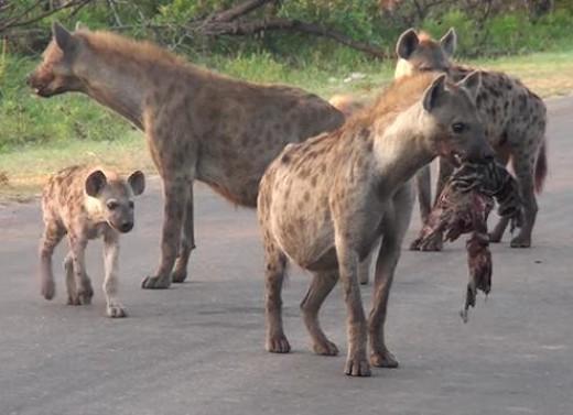 Clan of Hyenas
