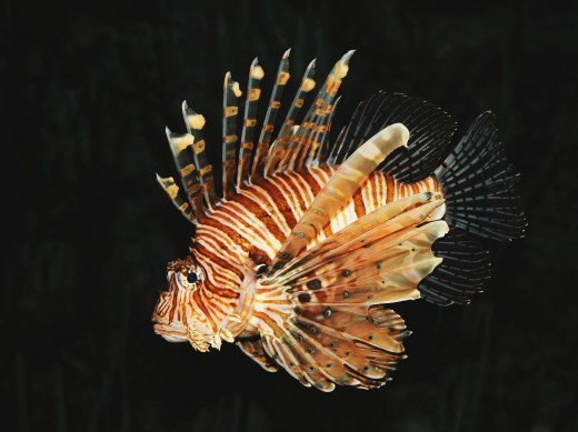 Pterois volitan, 1 of the 12 recognized species of lionfish and a common invasive predator in the Atlantic and Carribean