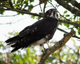 Bat Hawk at Cape Vidal, Northern Natal, South Africa  by Johan van Rensburg CC BY-SA2.0