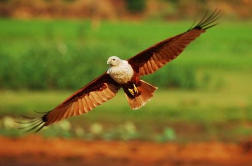 Brahminy kite flight By Chalirytl Eswardmangalath, Vipin CC BY-SA 3.0