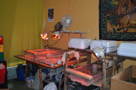 Incubators and brooders in the garage