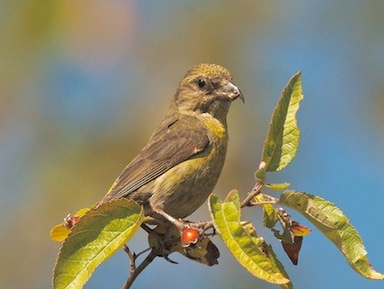 Red Crossbill - female